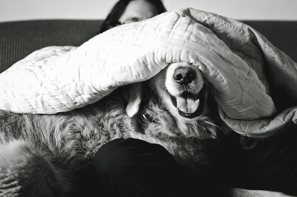 Golden retreiver smiling, hiding under blanket
